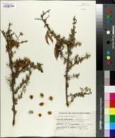 Image of Rhigozum obovatum