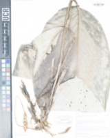 Image of Calathea galdamesiana