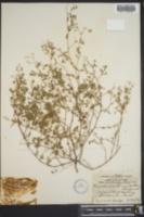Euphorbia hirsuta image
