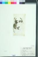 Image of Lecanthus peduncularis