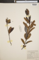 Image of Suberanthus × angustatus