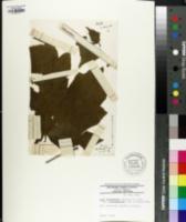 Image of Acer diabolicum