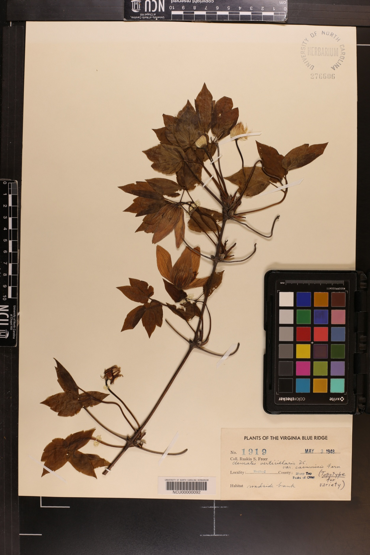 Clematis verticillaris var. cacuminis image