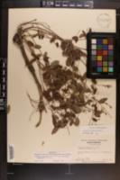 Galactia glabella image