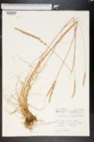 Image of Koeleria caudata