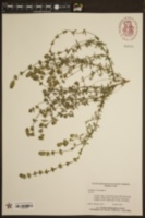 Thymus vulgaris image
