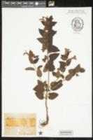 Image of Melittis melissophyllum