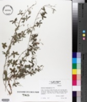 Image of Galactia heterophylla