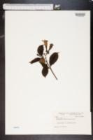 Image of Allamanda neriifolia