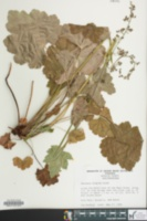 Image of Heuchera hispida