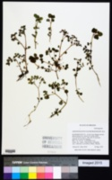 Image of Chrysosplenium glechomifolium