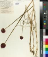 Allium sphaerocephalon image