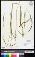 Trisetum canescens image