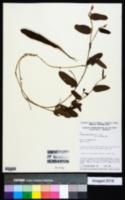 Image of Eriosema simplicifolium
