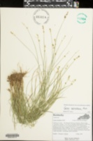Carex retroflexa image