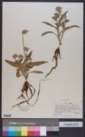 Image of Commelina alpestris