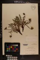 Image of Taraxacum proximum