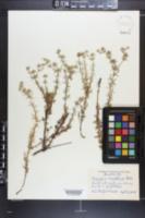 Eryngium aromaticum image