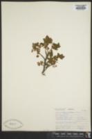 Ribes acerifolium image