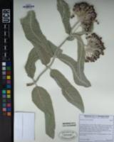 Image of Asclepias eriocarpa