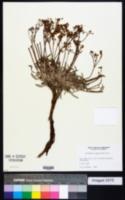 Image of Eriogonum campanulatum