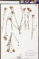Agalinis pulchella image