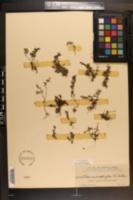 Pilea microphylla image