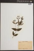 Image of Houstonia calycosa