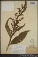 Veratrum viride subsp. viride image
