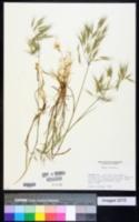 Bromus tectorum image