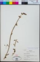 Image of Stachys grandidentata