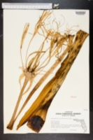 Image of Hymenocallis latifolia