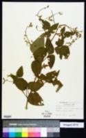 Desmodium illinoense image