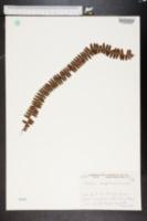Image of Polystichum craspedosorum