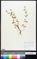 Eryngium prostratum image