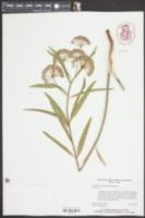 Asclepias longifolia image