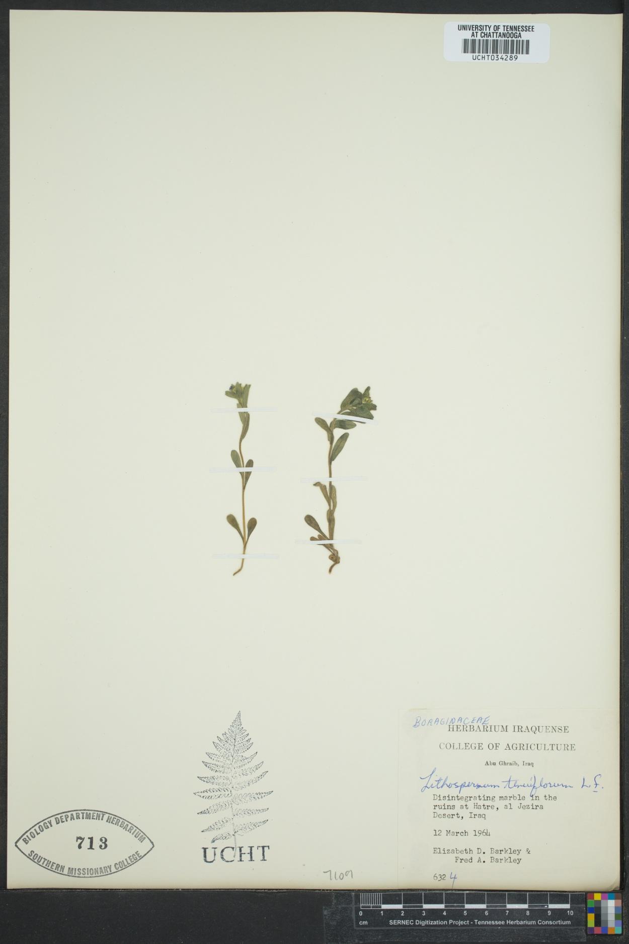 Buglossoides tenuiflora image