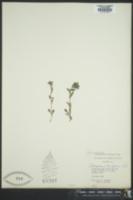 Image of Buglossoides tenuiflora