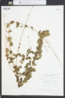 Desmodium ciliare image