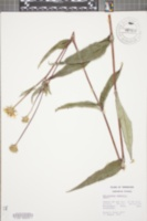 Helianthus eggertii image