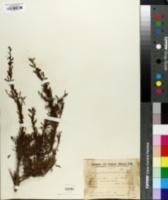 Image of Schinus fasciculata