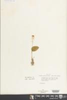 Malaxis unifolia image