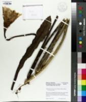 Epiphyllum thomasianum image