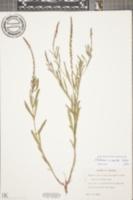 Verbena simplex image