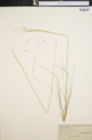 Image of Stipa avenacea