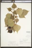Populus canadensis image
