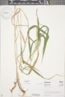 Elymus virginicus image