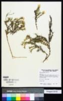 Image of Phlox andicola