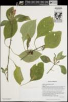Image of Ruellia megasphaera