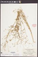Boltonia caroliniana image